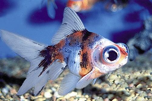 Златна рибка калико телескоп 3 - 4см