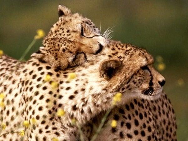 30 умилителни снимки на прегърнати животни, които излъчват любов