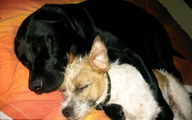 Сляп лабрадор си има свое собствено куче - водач