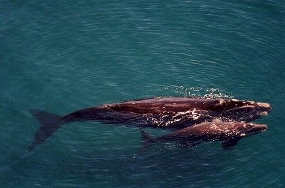 Продължава мистериозното измиране на бебета южни китове