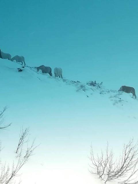 Бедстващи коне на южния склон след Беклемето