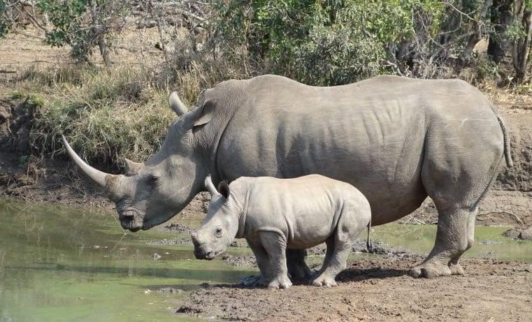 Белият носорог – застрашен от изчезване