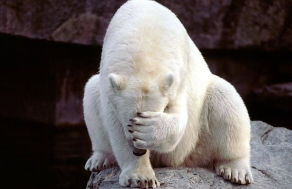 Коя е по-силната страна на полярните мечки?