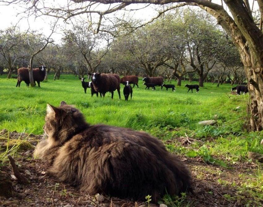 Бивша бездомна котка помага на фермер да пасе овцете си (видео)