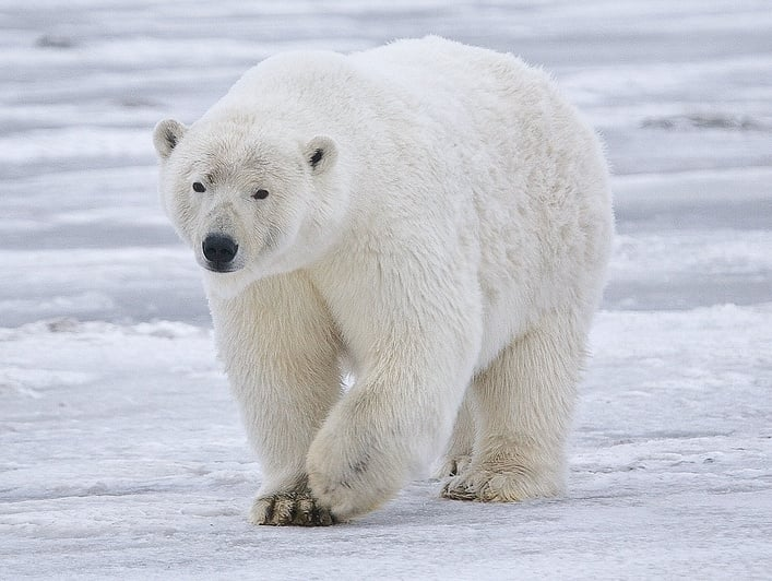 Бяла (Полярна) мечка