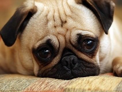 Бронхопневмония при кучето