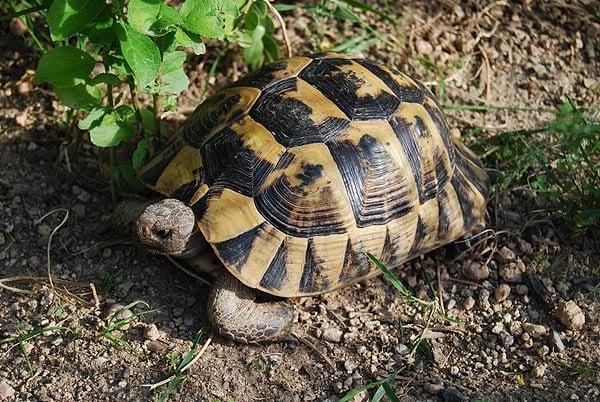 Българин уби и изяде световно защитен вид костенурка, наказват го само с пробация