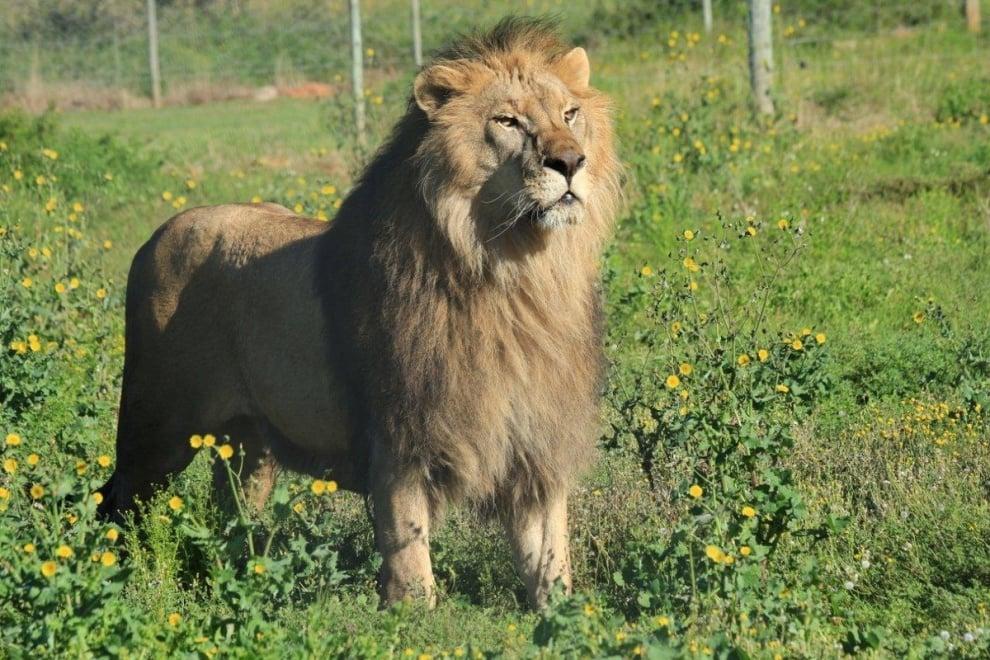 """Цирковите лъвчета от Зоопарк Стара Загора вече са на свобода в африканския резерват """"Шамуари"""""""