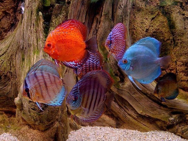 Декоративни рибки за аквариум