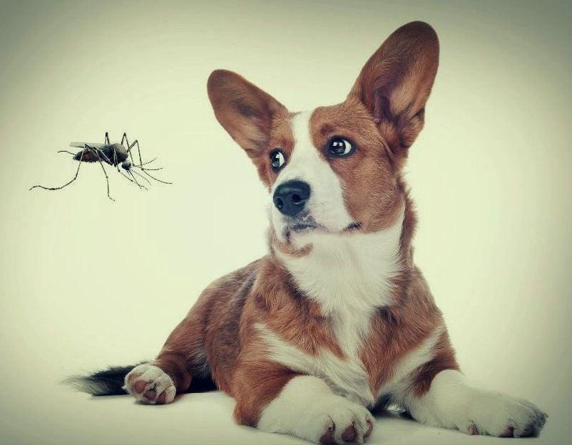 Дирофилариоза при кучето