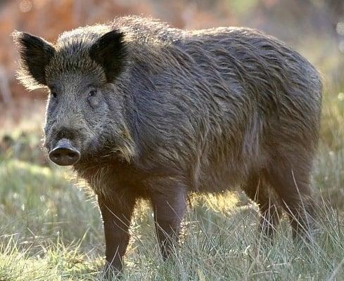 Дива свиня (Глиган)
