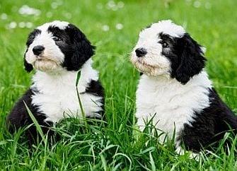 Добра идея ли е да осиновим две кученца едновременно?