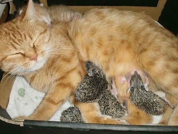 Домашна котка осинови таралежчета, чиято майка е загинала