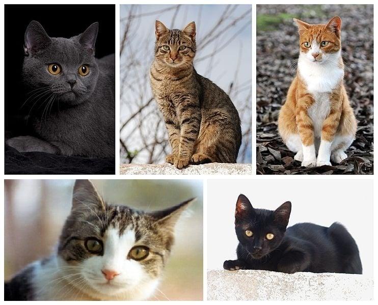 Котка, Домашна котка