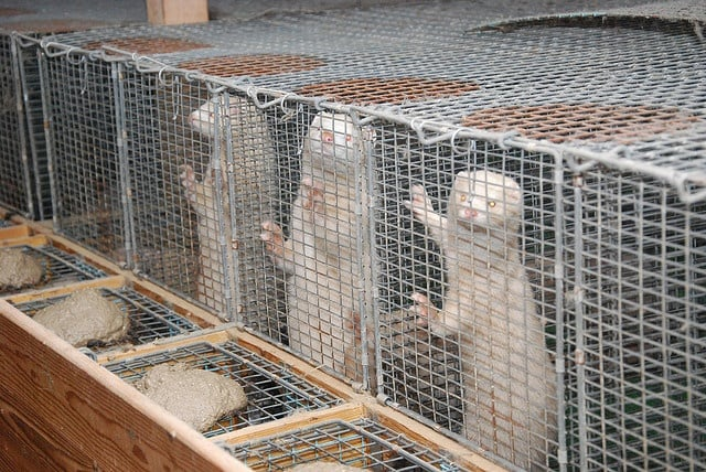 Предстои демонстрация срещу фермите, които отглеждат норки за ценни кожи