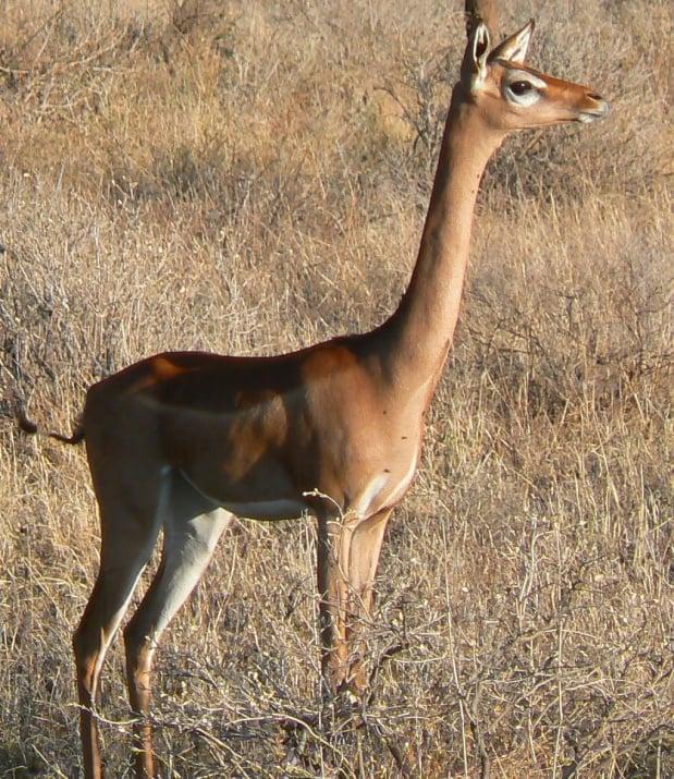 Геренук (Жирафова газела)