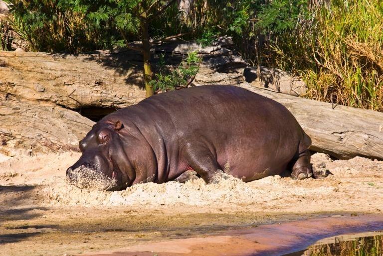 Защо хипопотамите не изгарят на слънце?