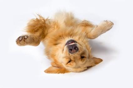 Обучение на кучето: Урок №19. Научете кучето да се преструва на умряло