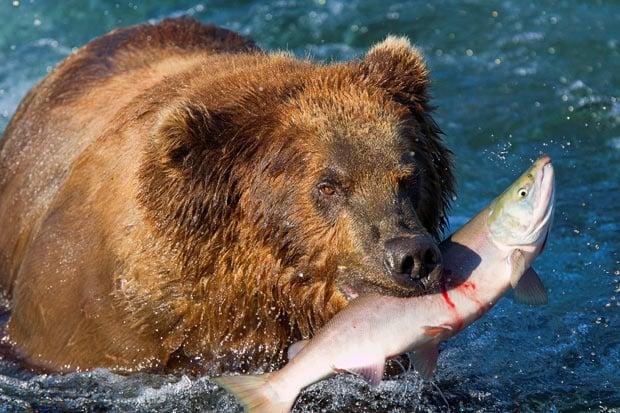 Как мечките ловят риба?