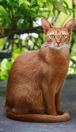 Късокосмести породи котки