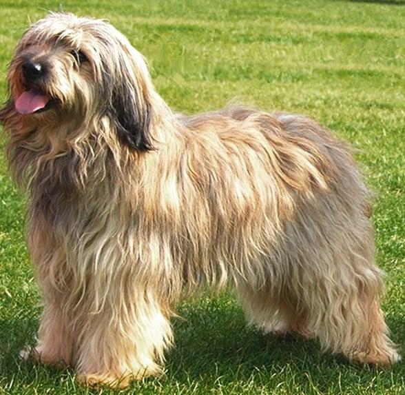 Каталонско пастирско куче