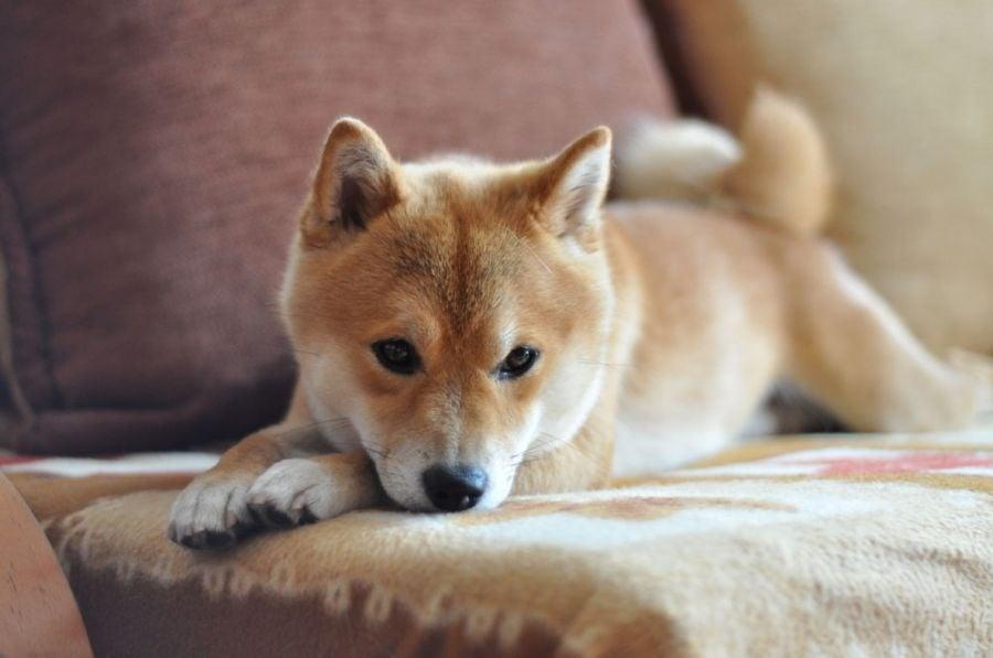 Изоспороза - Кокцидиоза при кучето
