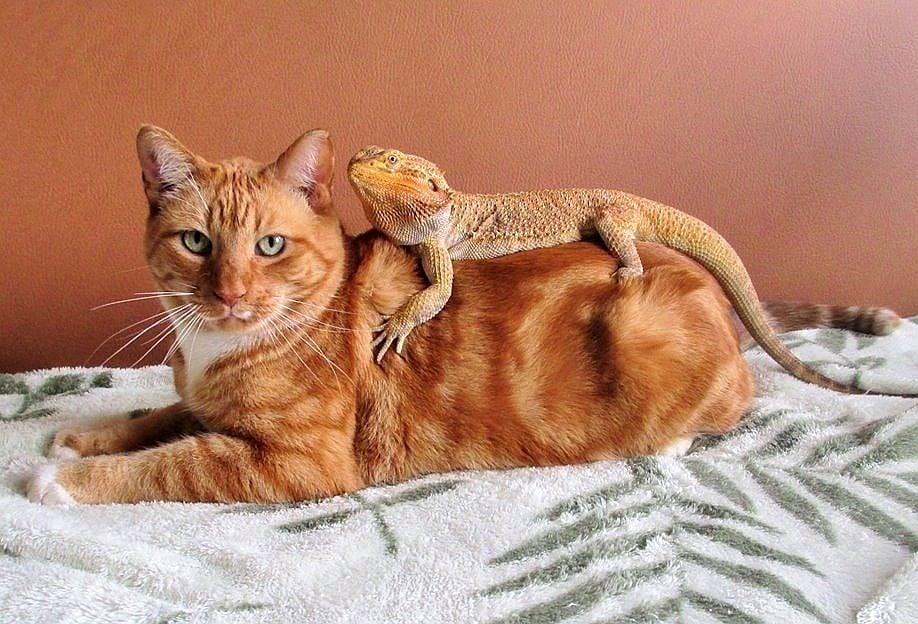 Котки и гущери - една неочаквано добра комбинация