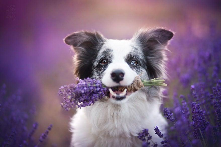 Красива и зареждаща фотосесия на кучета в полета с Лавандула