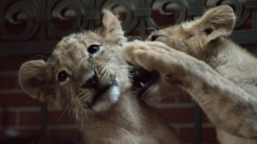 Най - накрая - лъвчетата Терез и Масуд заминават за Холандия