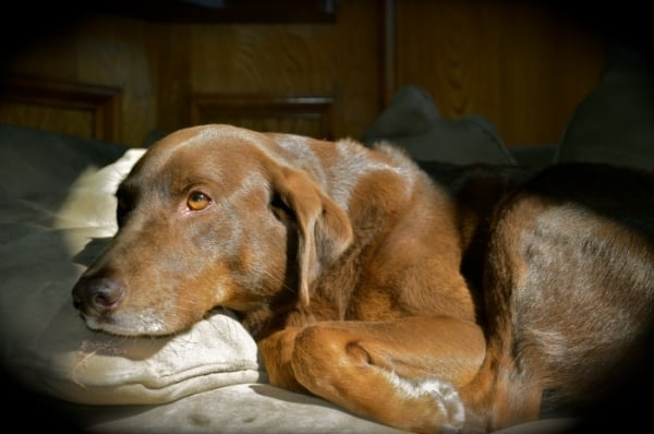 Лептоспироза при кучето