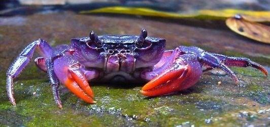 Нов вид лилав рак бе открит край Филипините