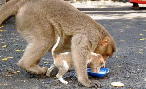 Маймуна си осинови кученце