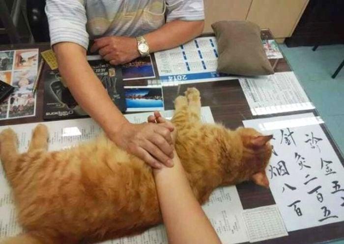 Медици работят с котка като най - добър асистент за измерване на пулс