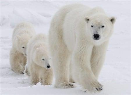 Годишната миграция на полярните мечки започна