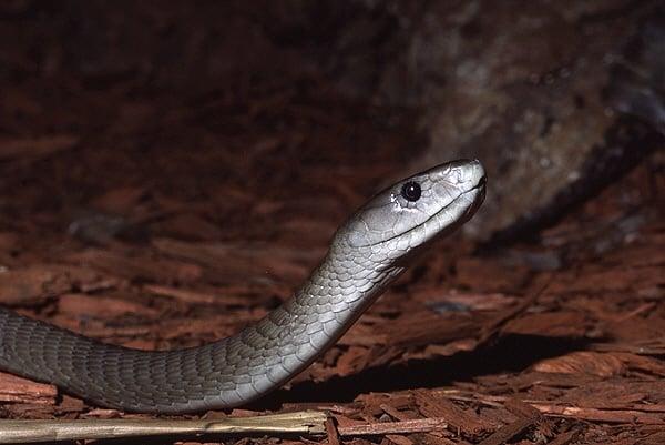 Най - бързата змия в Света