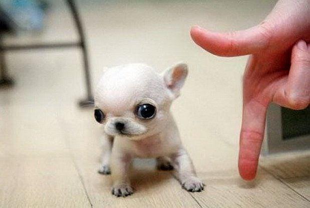 Най - малките и сладки кученца в света