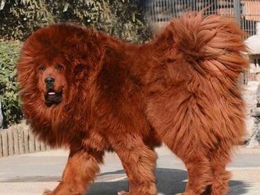 Кое е най - скъпото куче?
