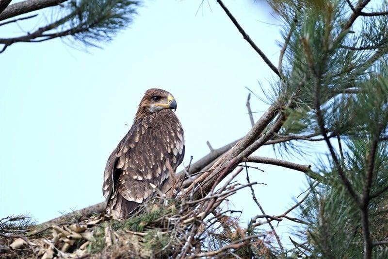 Добра новина: Новo гнездо на царски орел е открито от екип на БДЗП