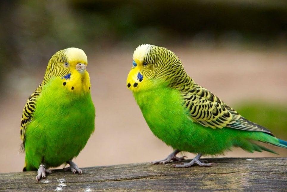 Обща характеристика на вълнистите папагали