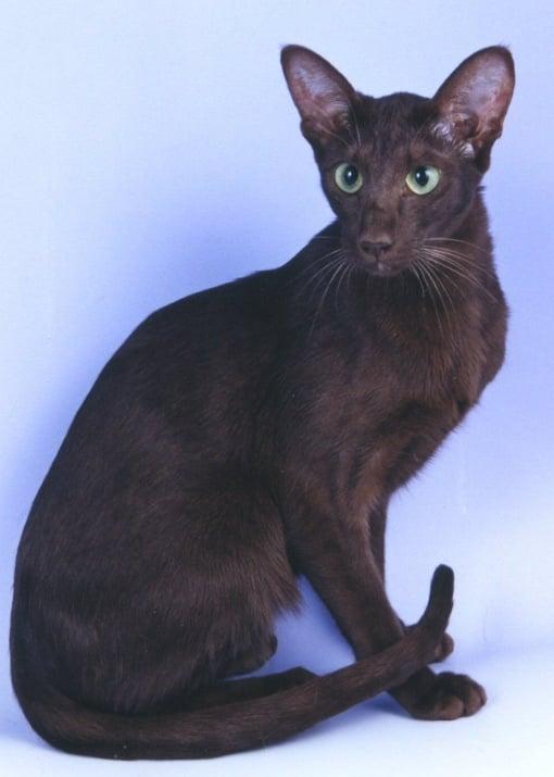 Ориенталска котка