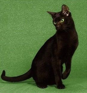 Ориенталски породи котки