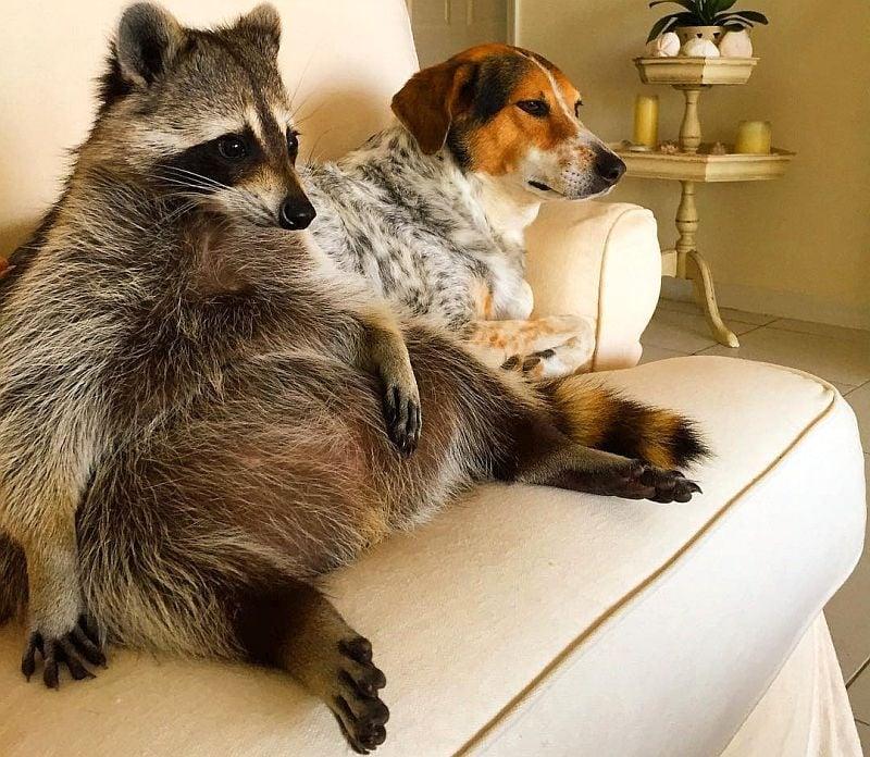 Осиротяло енотче расте в домашна среда, мислейки се за куче