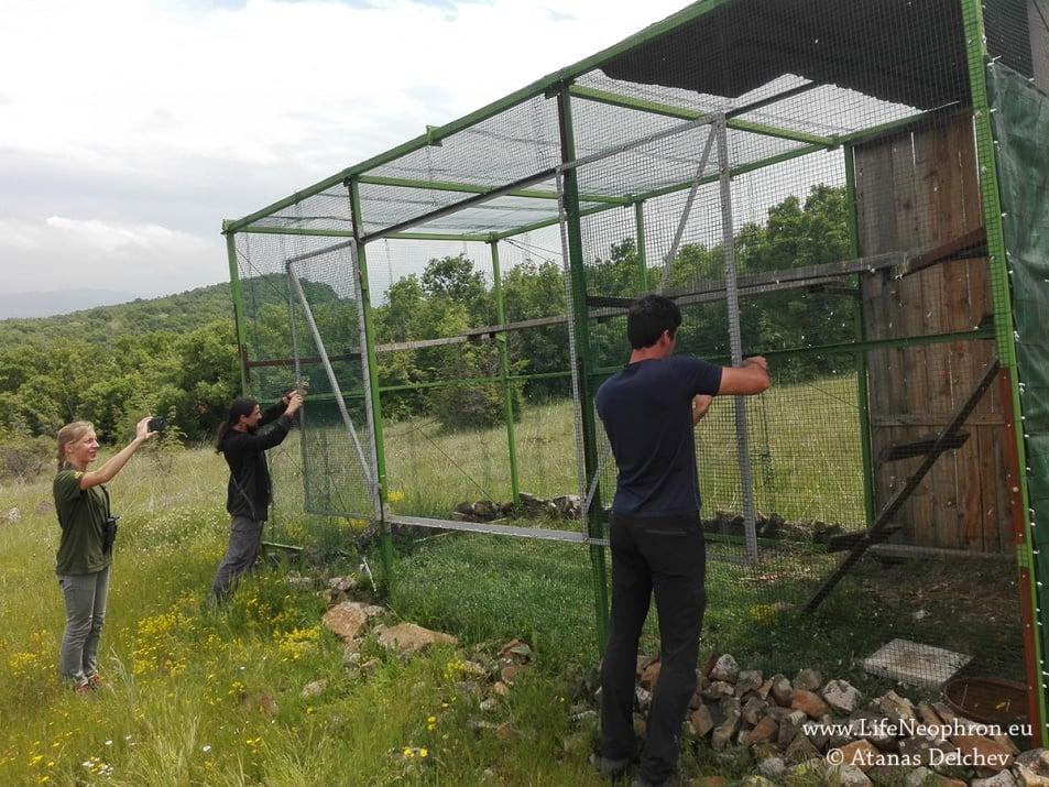 Освобождават в дивата природа на България египетски лешояди, отгледани в зоопаркове