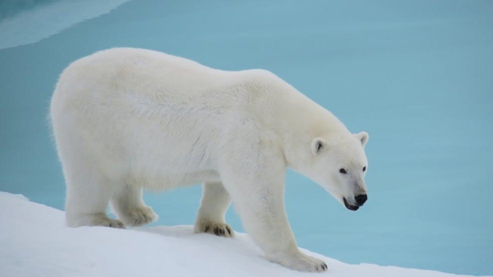 Полярната мечка е произлязла от кафява. Как?
