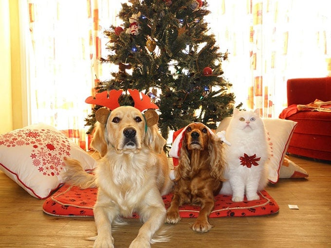 Отровни ли са коледните дръвчета за кучетата и котките?