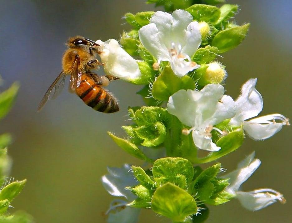 Пчелите изчезват мистериозно