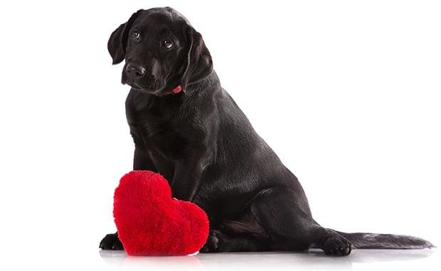Възпаление на перикарда (Перикардит) при кучето