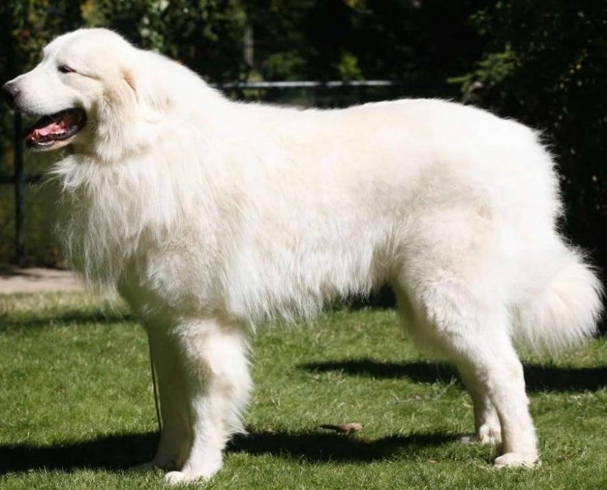 Пиренейско планинско куче