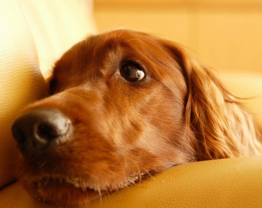 Плеврит при кучето