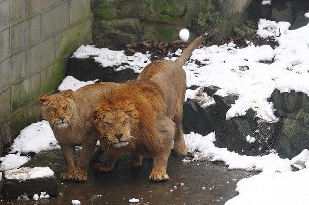 Посетители в китайски зоопарк замерят животните със снежни топки